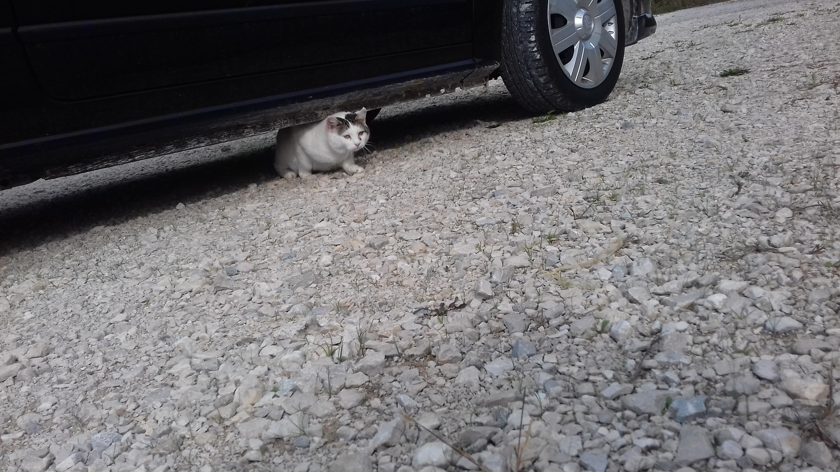 velika španska maca
