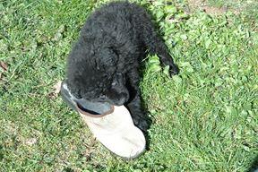 Leo - štene hrvatskog ovčara