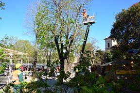 Uklanjanje opasnih stabala na tržnici (Neven LAZAREVIĆ)