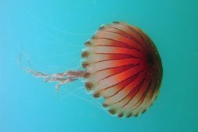 Kompas meduza (Chrysaora hysoscella)