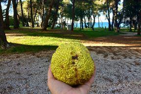 Plod maklure (Snimila Borka Petrović)