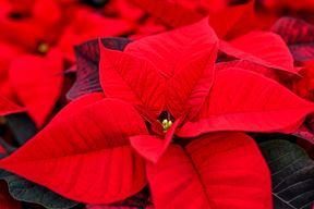 Božićna zvijezda (Foto Pixabay)