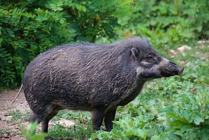 Tijekom prošle godine odstrijeljeno je 180 jedinki divljih svinja, a 15 ih je stradalo u prometu