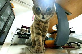 Mačak Peđa, ljubimac Glasa Istre (Snimio Milivoj Mijošek)