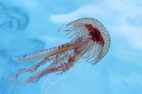 Meduza morska mjesečina