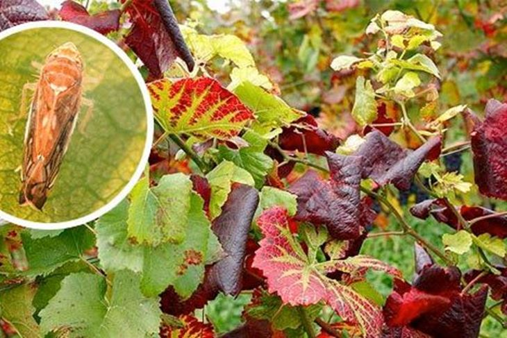 Američki crvčak ugrožava hrvatske vinograde uzrokujući zlatnu žuticu