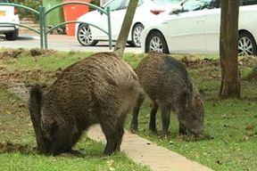 Divlje svinje u Rovinju