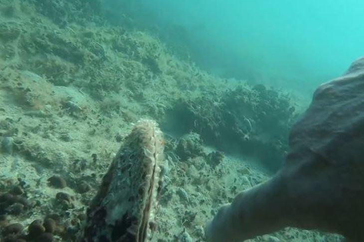 Živa periska nađena u akvatoriju između Peroja i Fažane